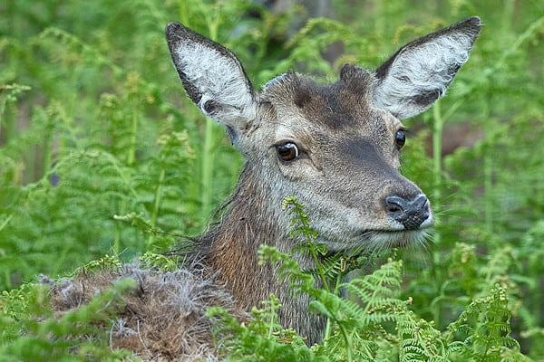 Deer in Lochdon