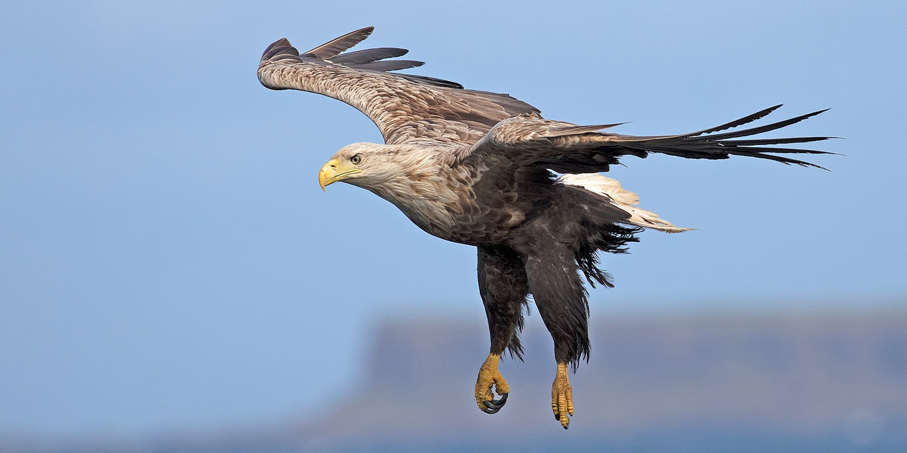 No.2 White-tailed Eagle at Loch Tuath 900